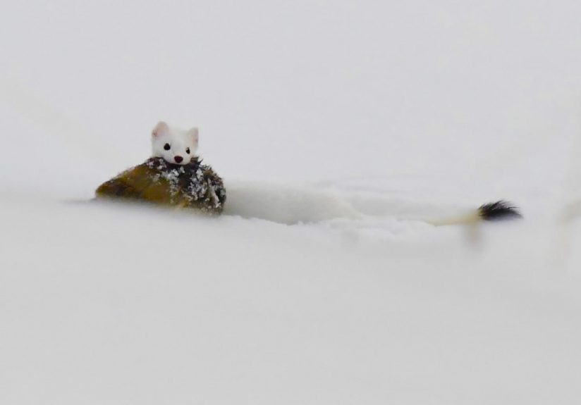 Ermine with a vole