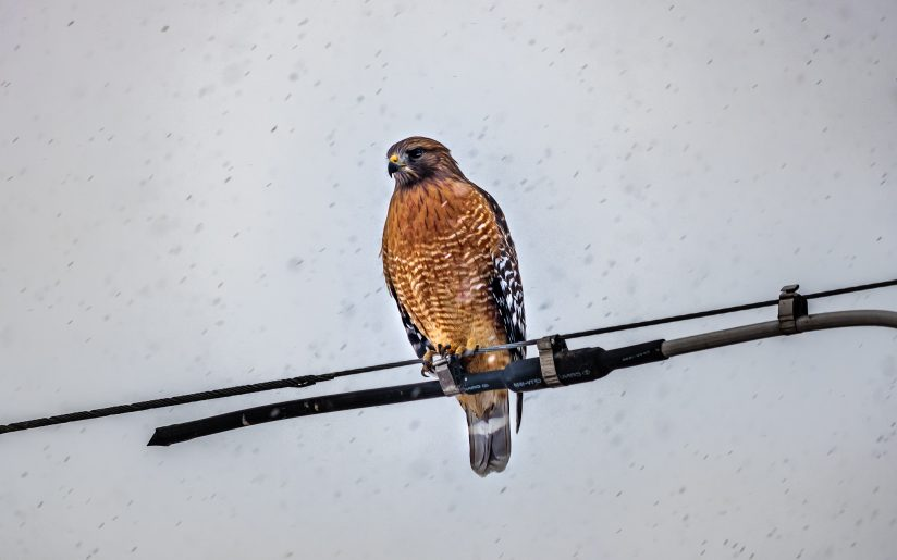 Looking For Breakfast in A Snowstorm