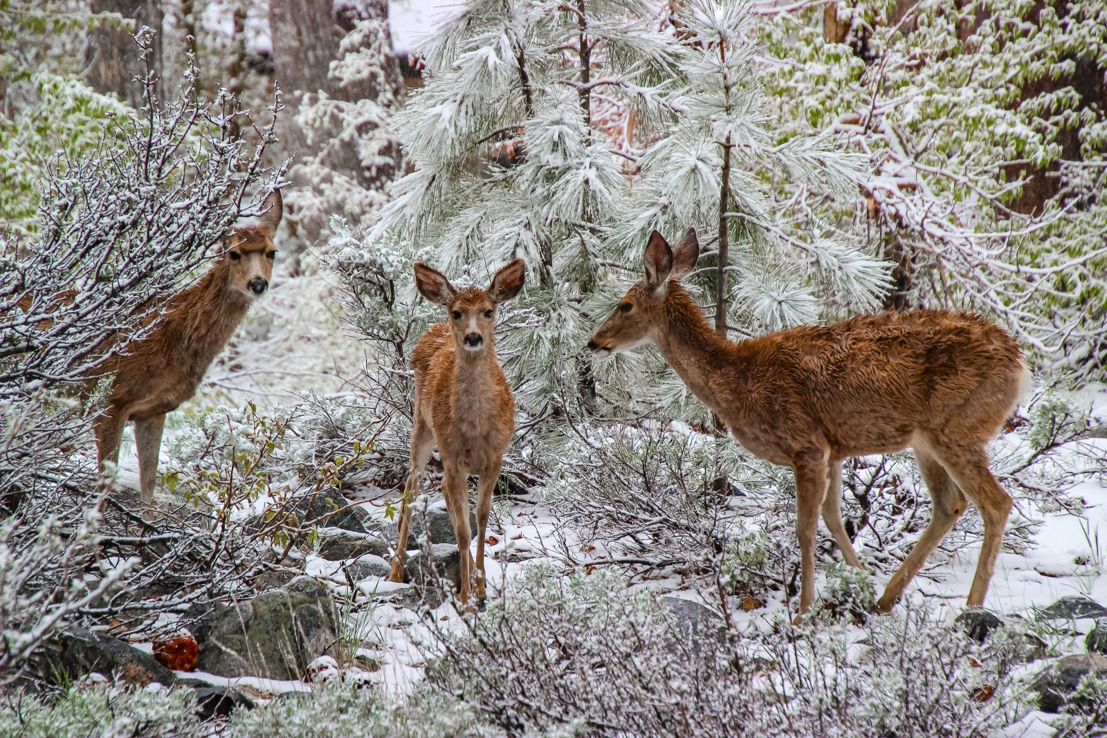 Family of Mule Deer