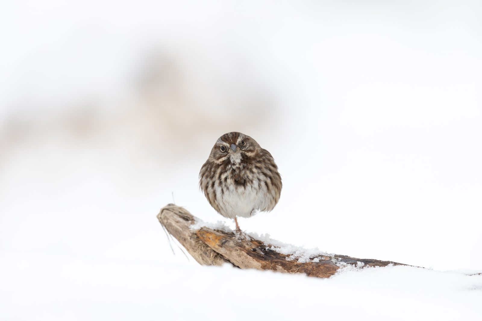 Simple Song Sparrow