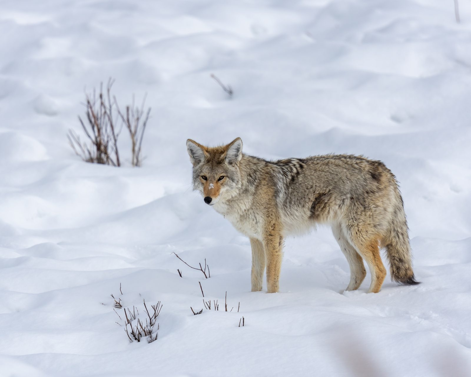 Coyote Mousing in Winter