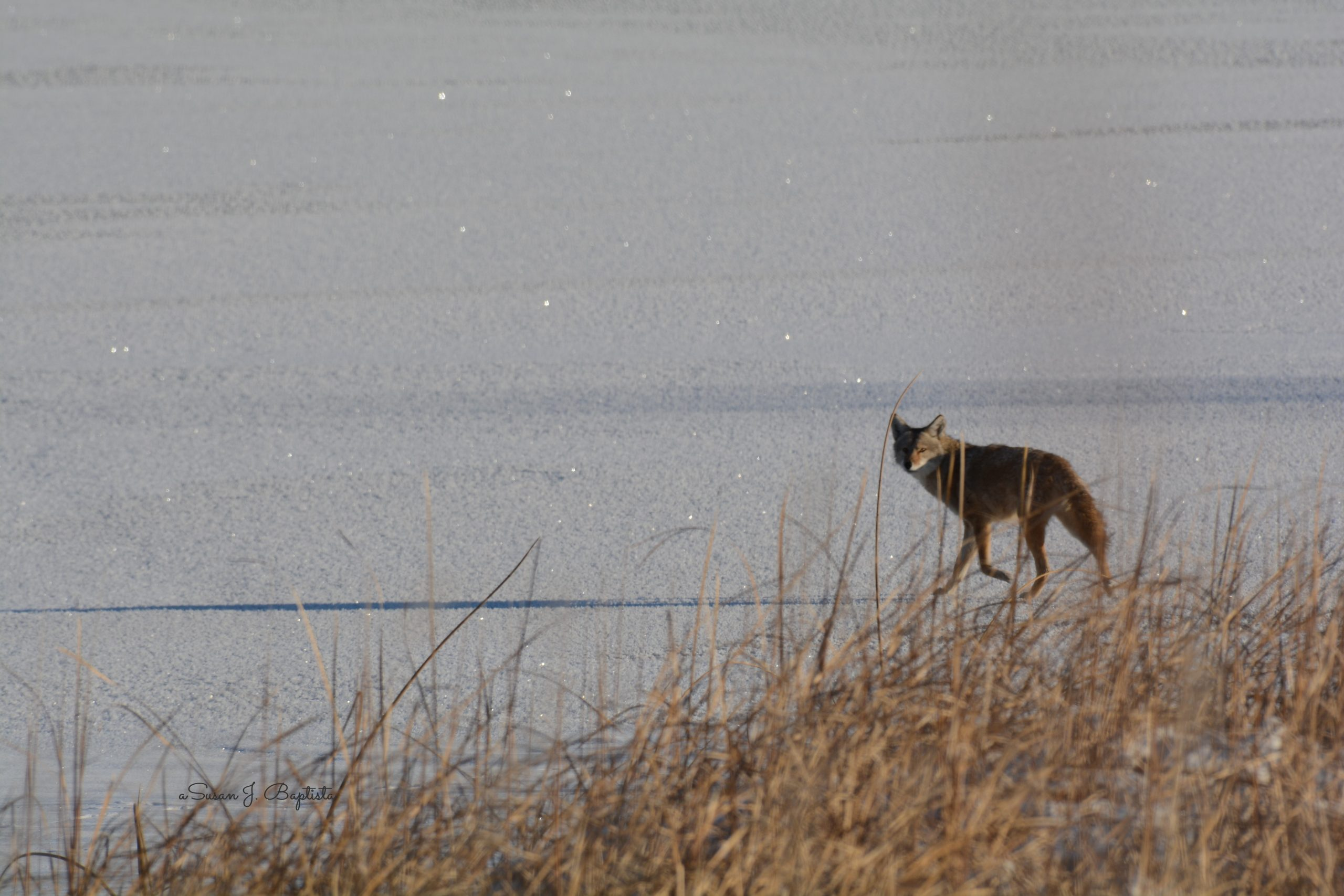 Coyote On The Ice