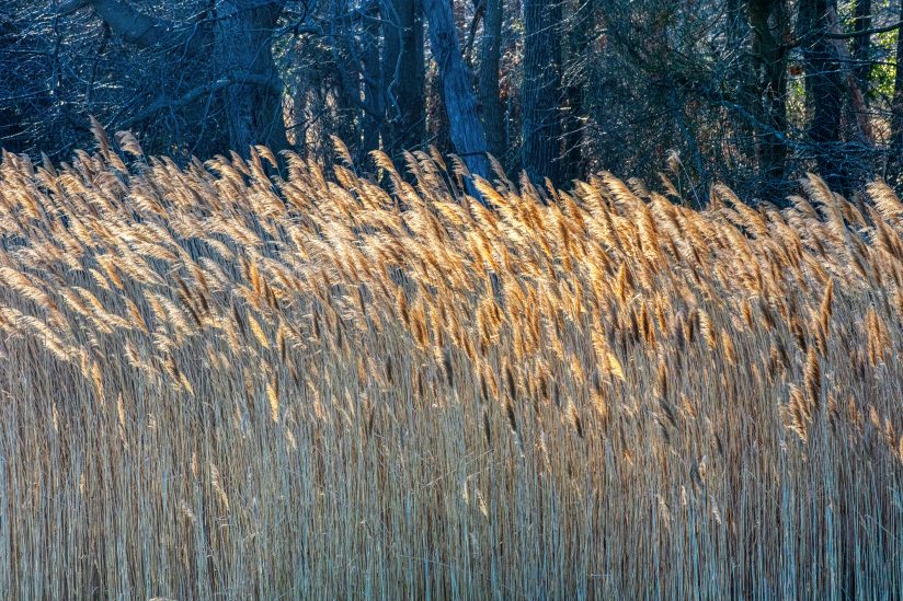 The waltz of the reeds dancing in the sunset