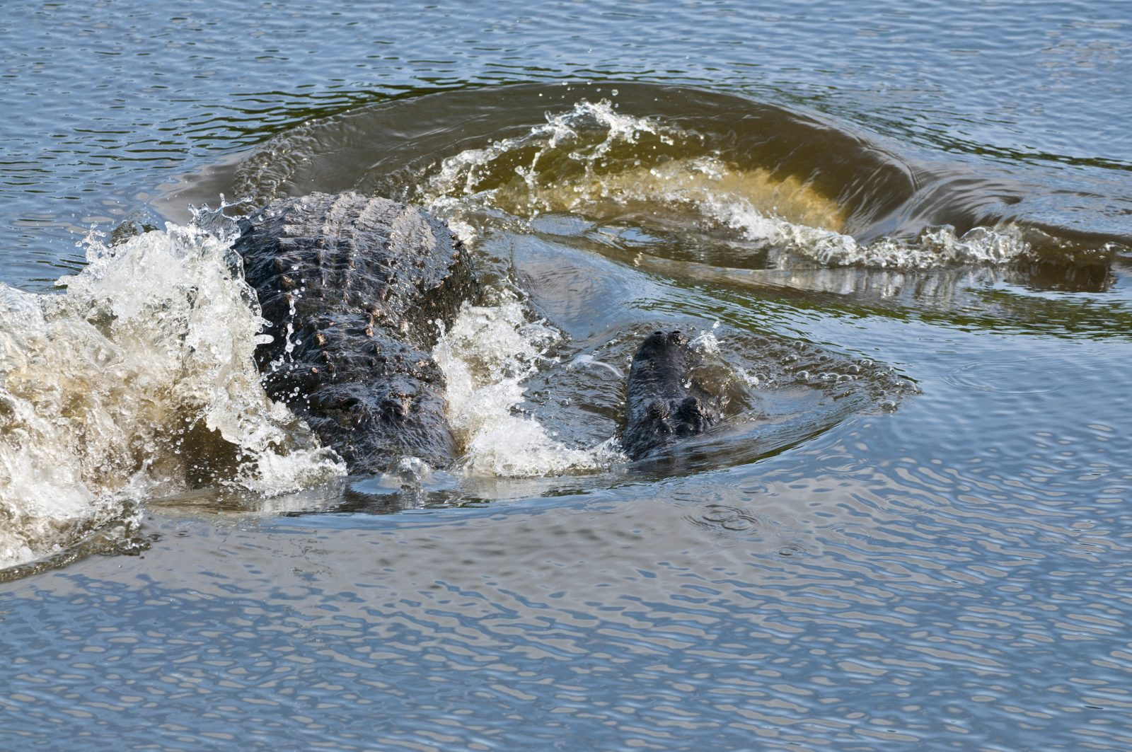 Alligator Wake