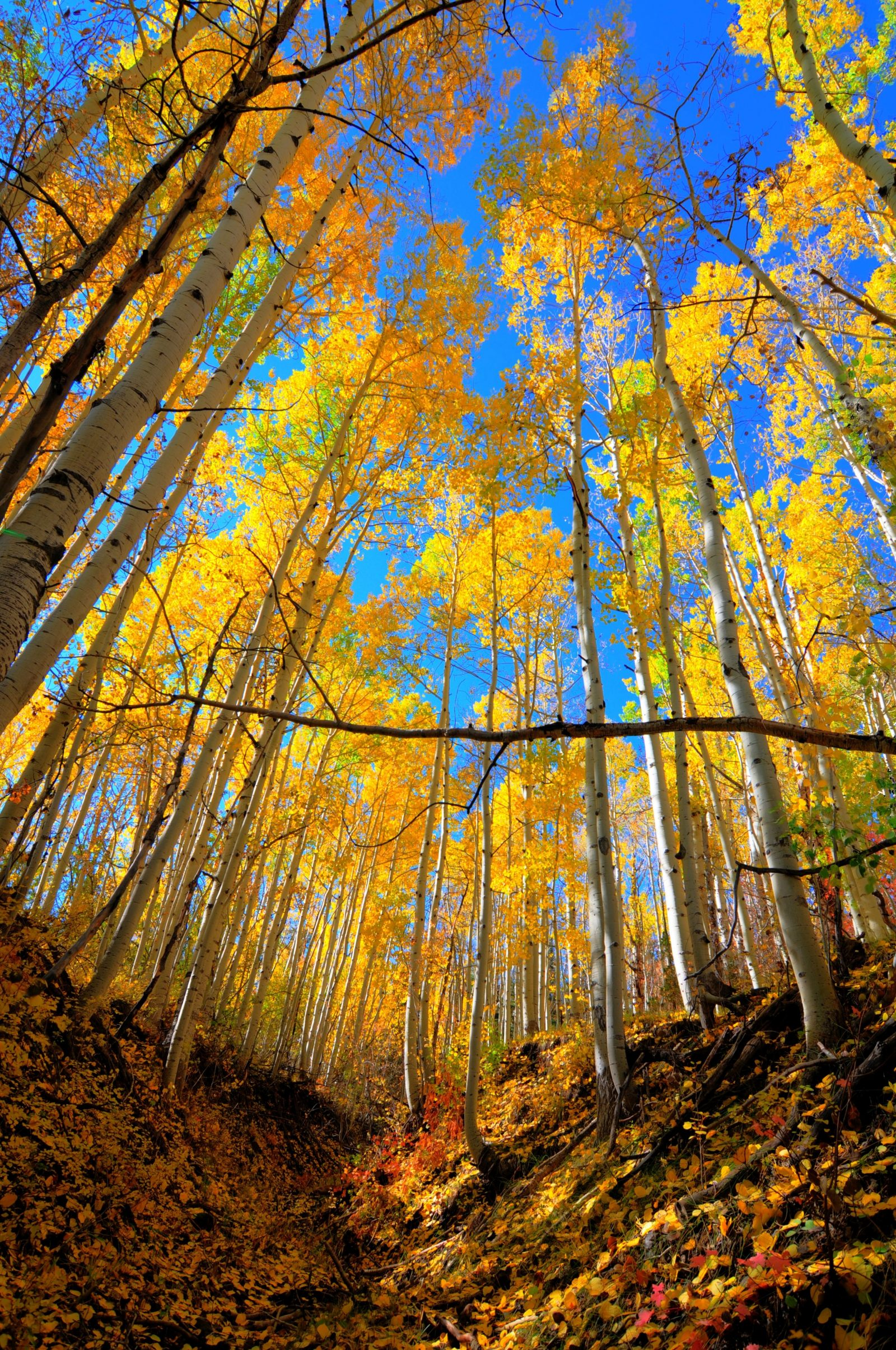 Heavenly Aspens