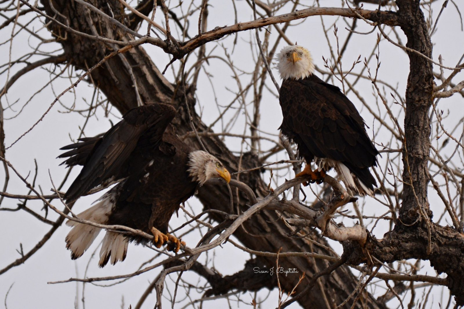 Eagle Pair Ready For Spring