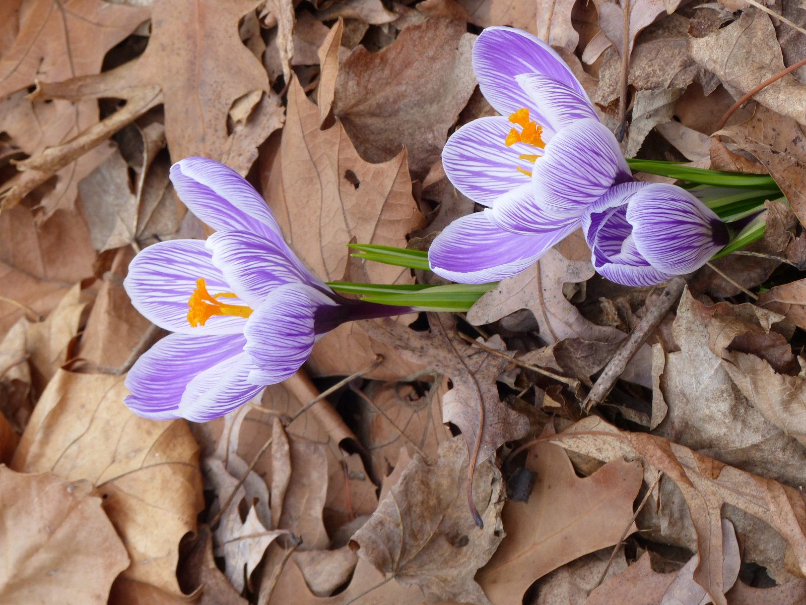 Crocuses blooming #2