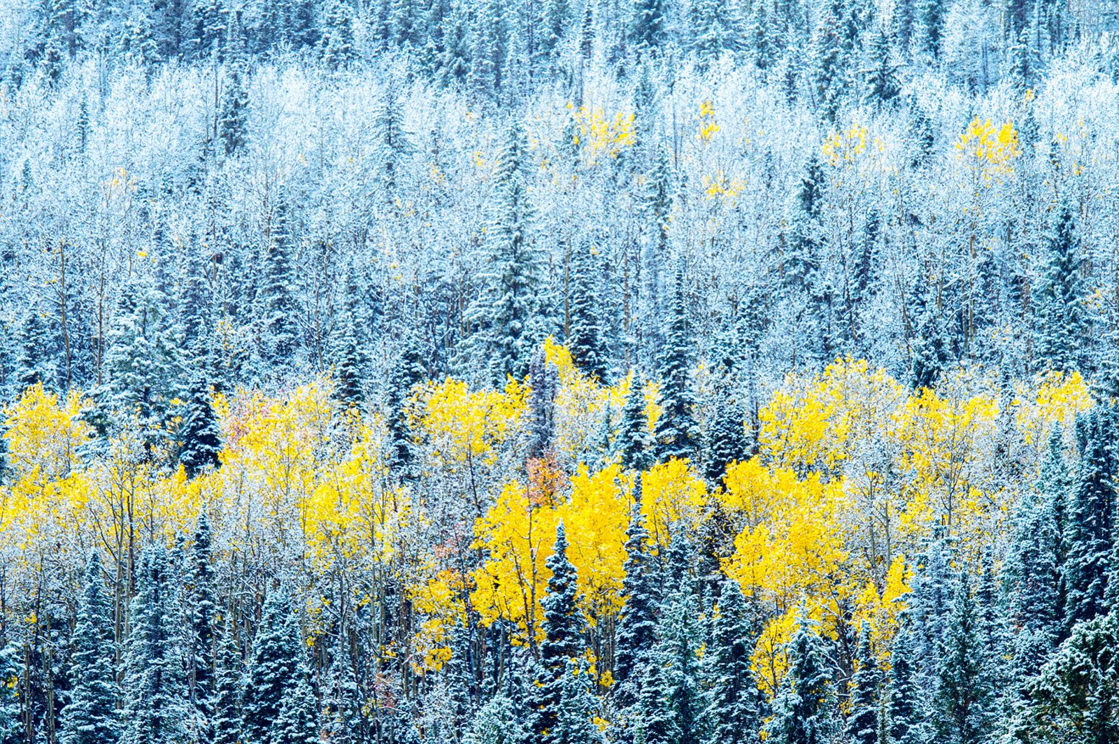 Appearance of the last remaining aspen colors
