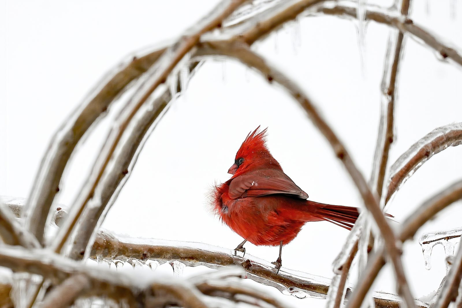 Male Northern Cardinal in Ice