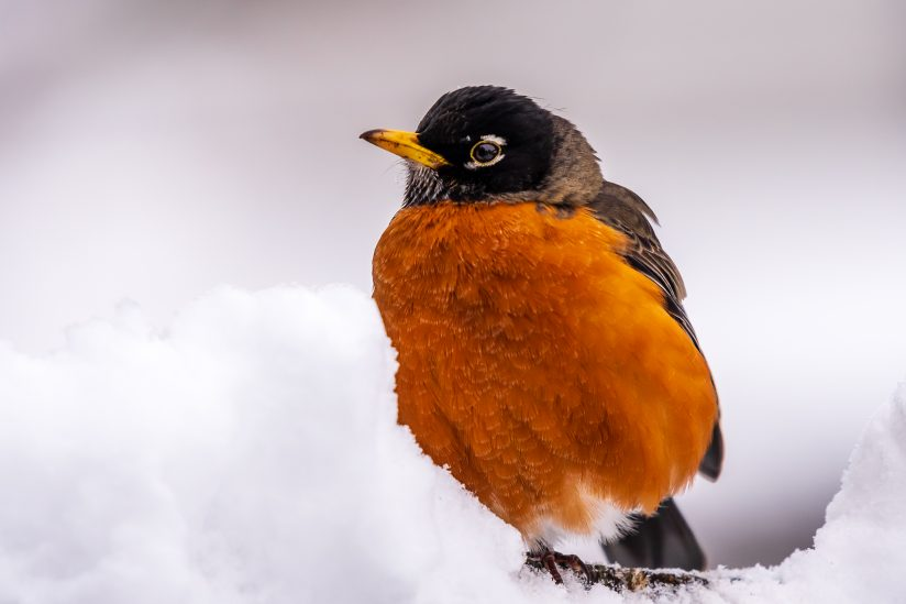 Robin Waiting for Spring