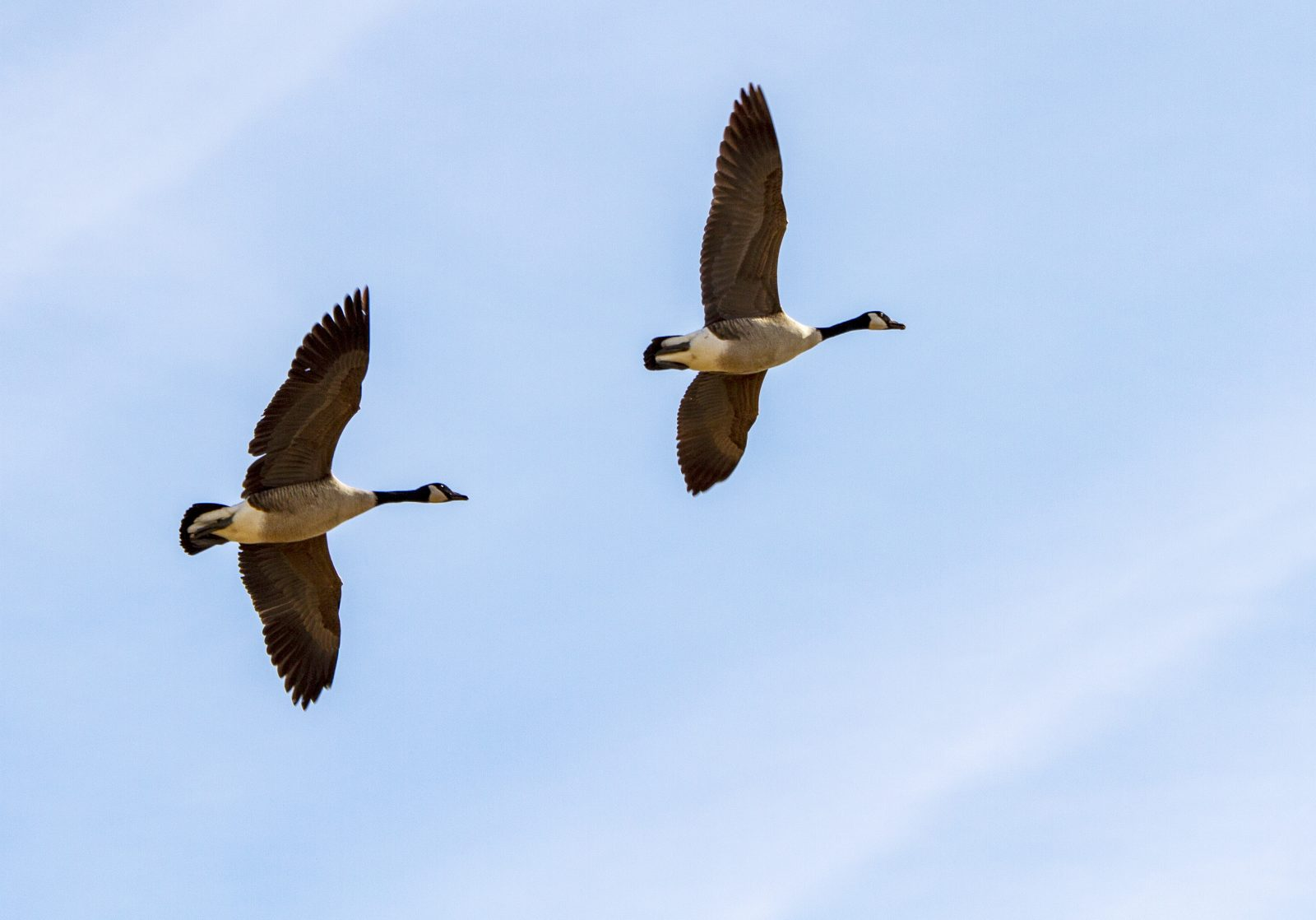 A Pair of Geese on Wing