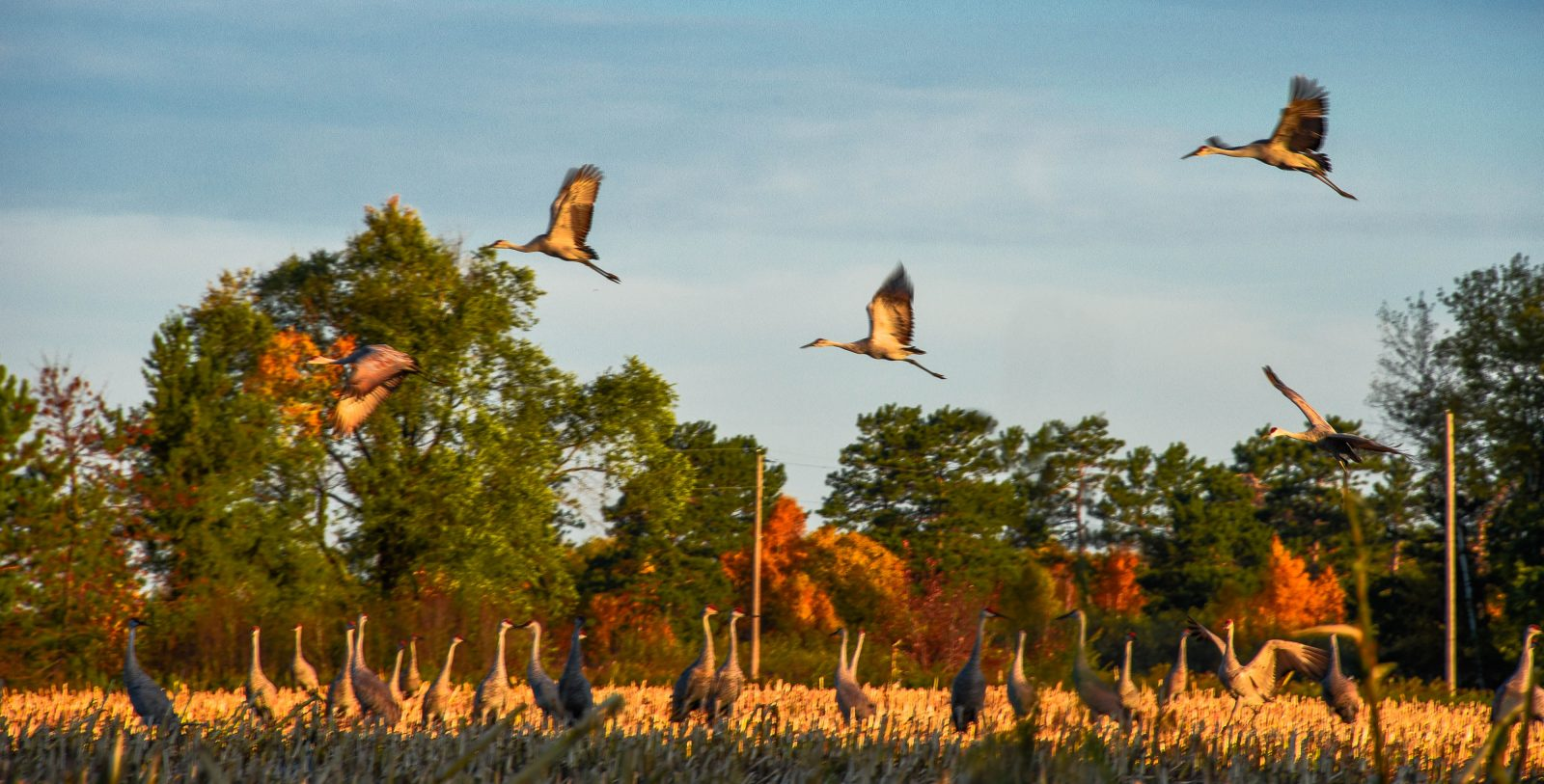 Sandhill Cranes Searching Field