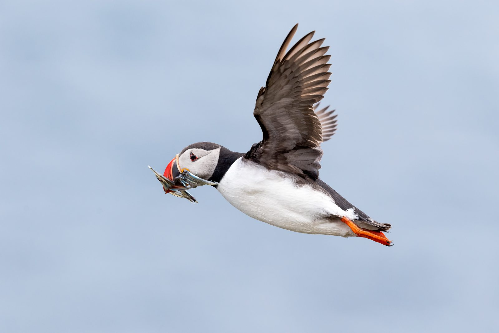 Puffin Flight Two