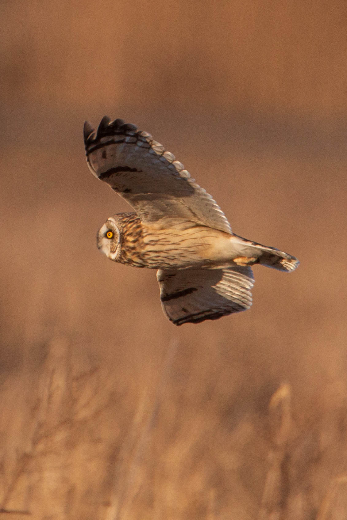 Short-eared Hunting