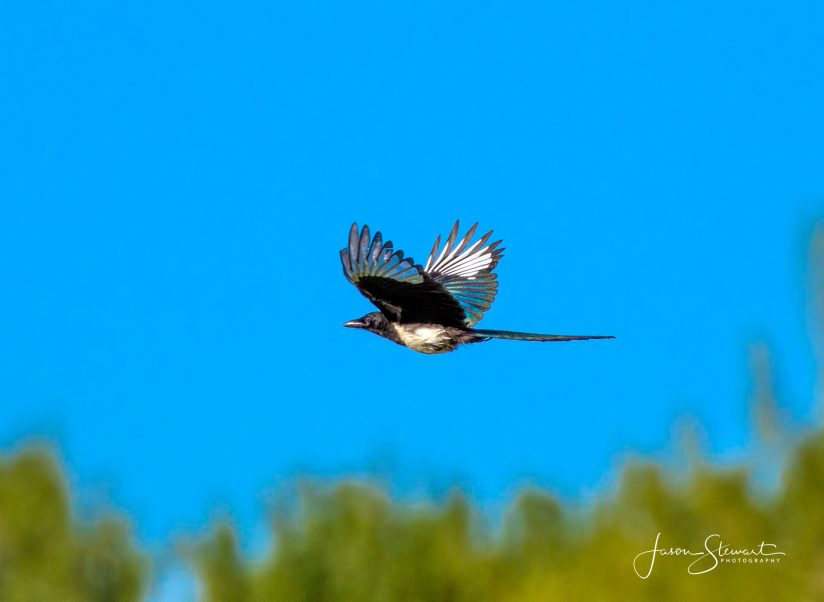 Flight of the Magpie