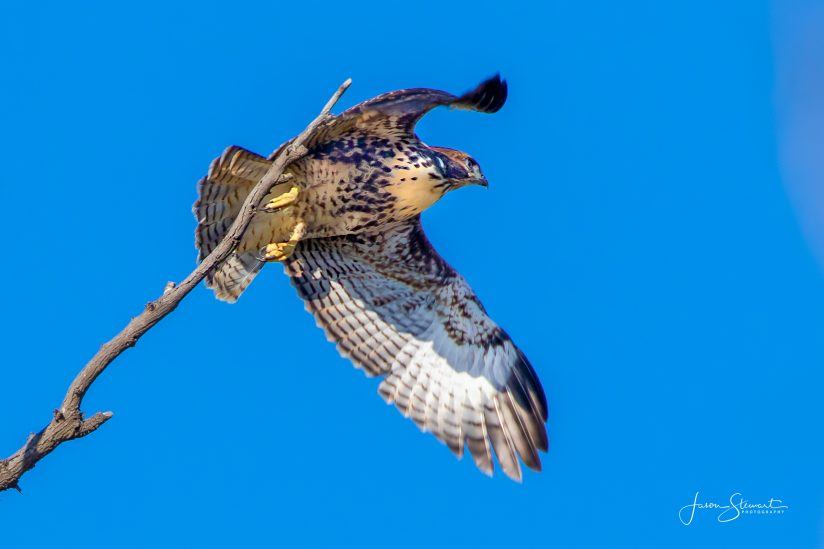 First Flight for this Red-Tailed Hawk