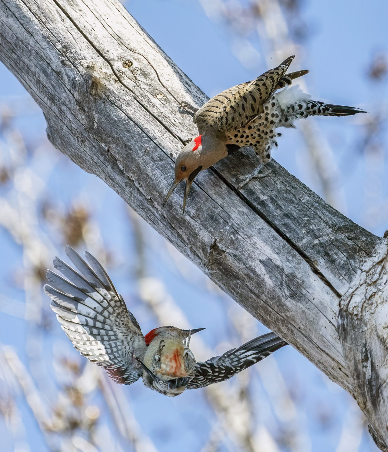 Red-bellied Woodpecker and a yellow shafted Northern Flicker Squabble