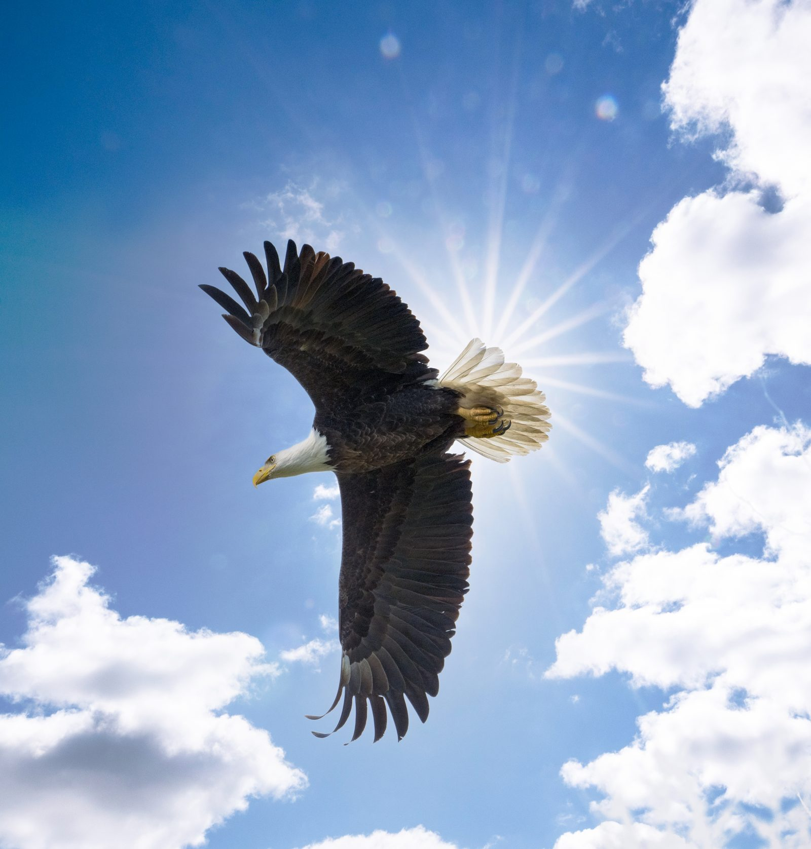 American Bald Eagle Inflight In the Sun Rays