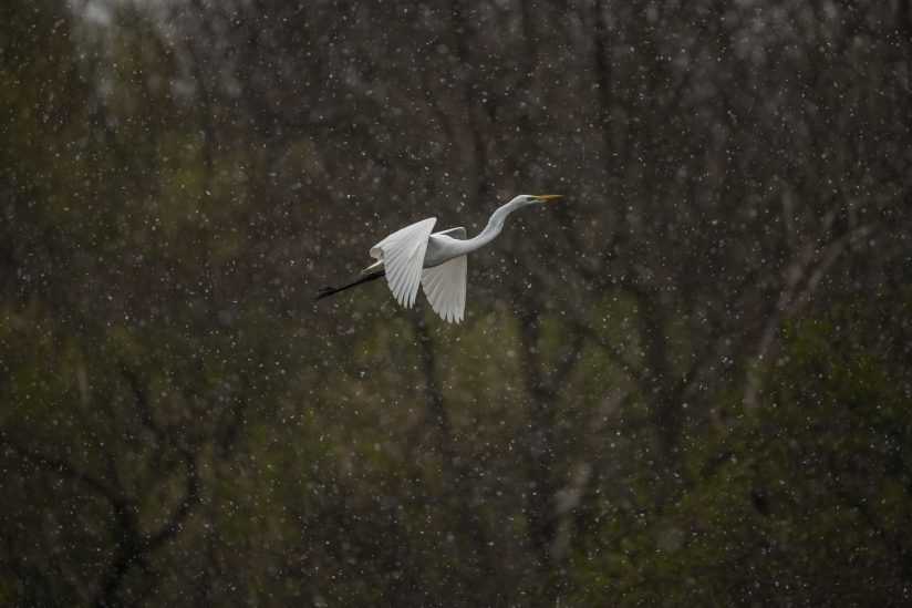 Great Egret through the Forest in an April Spring Snow