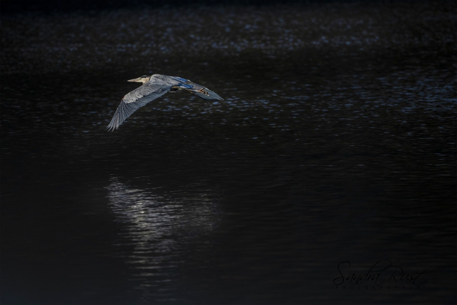 Great Blue Heron Inflight over a Lake