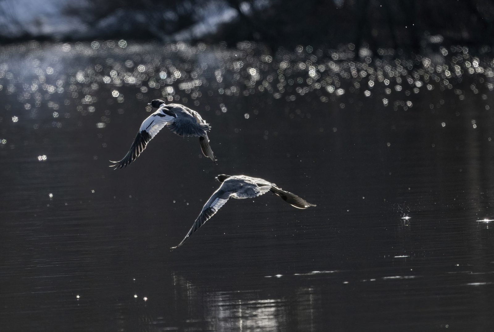 Northern Shovelers Inflight