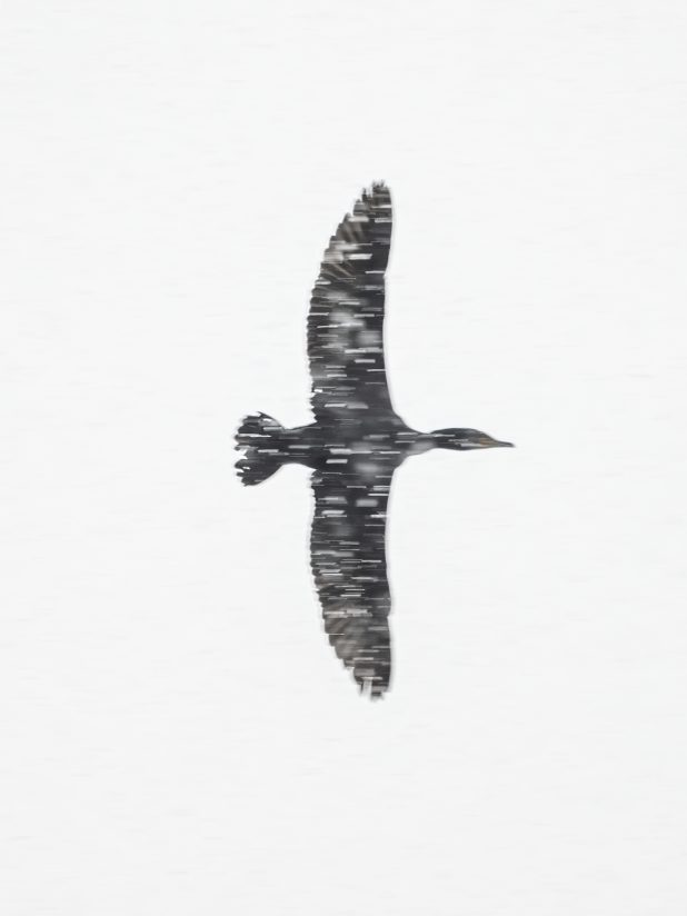 Cormorant inflight in a late spring Arpil snow storm