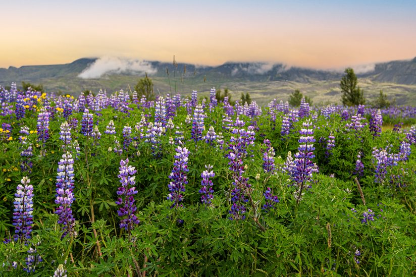 Attractive and spiky Lupines Flowers