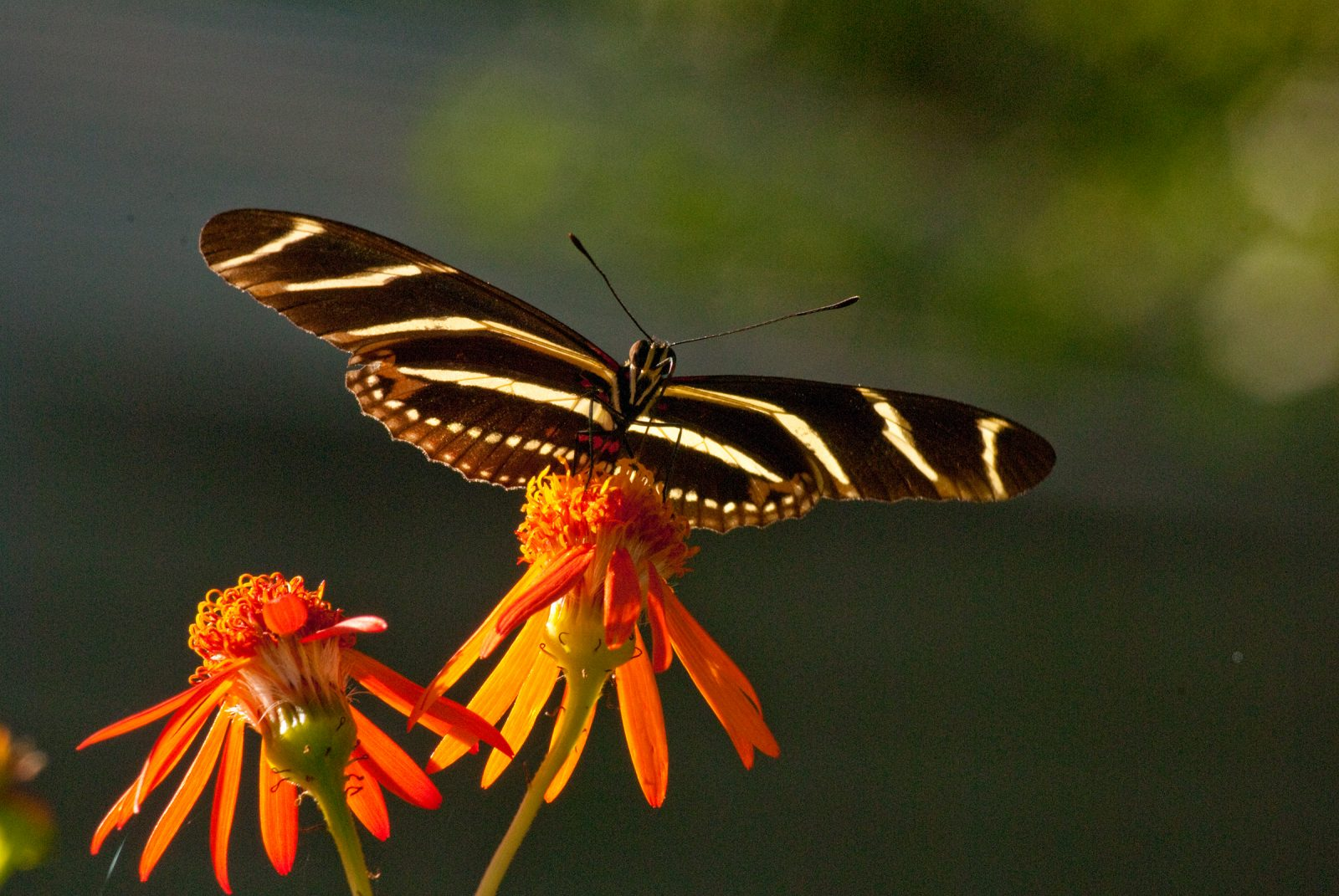 Zebra Longwing sipping nectar