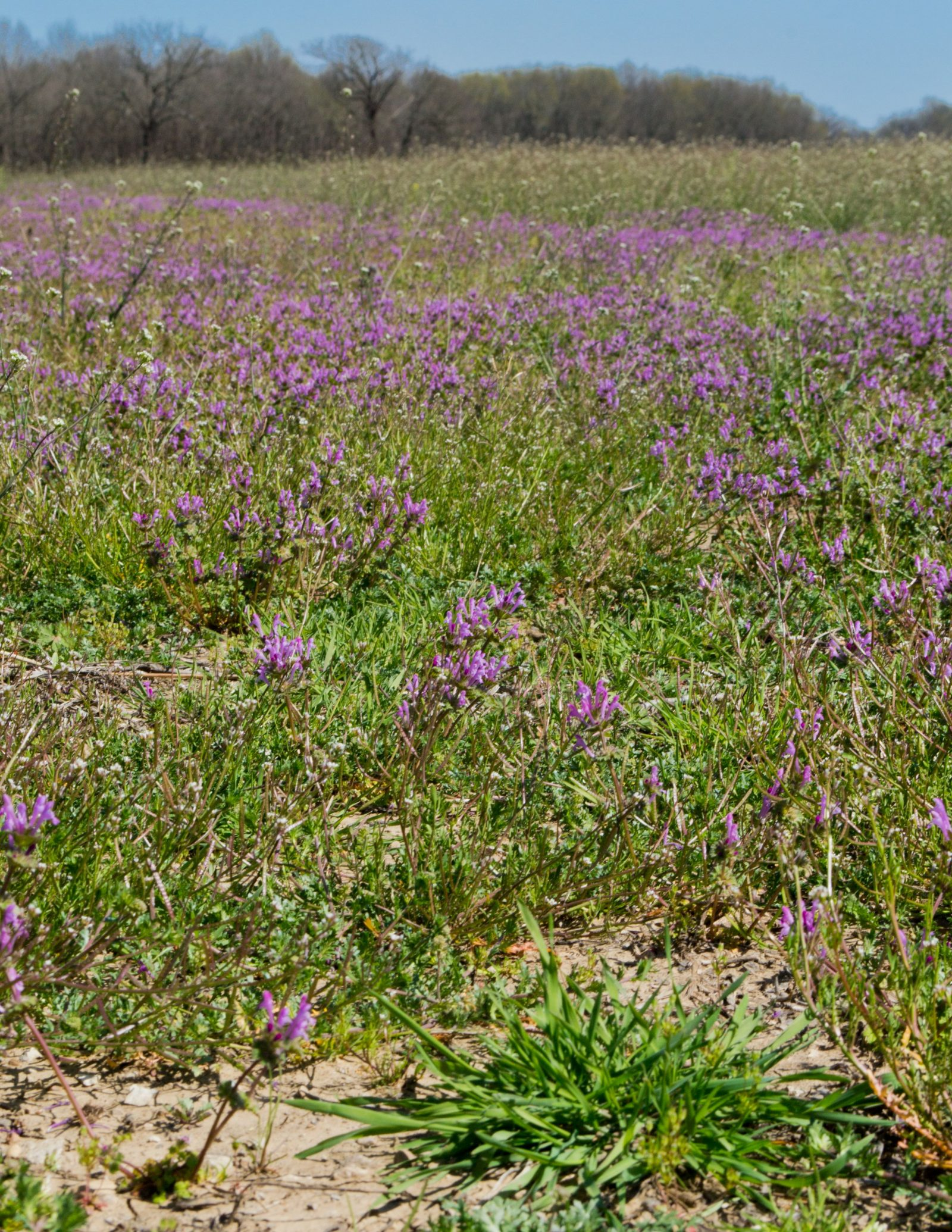 Field of Henbit