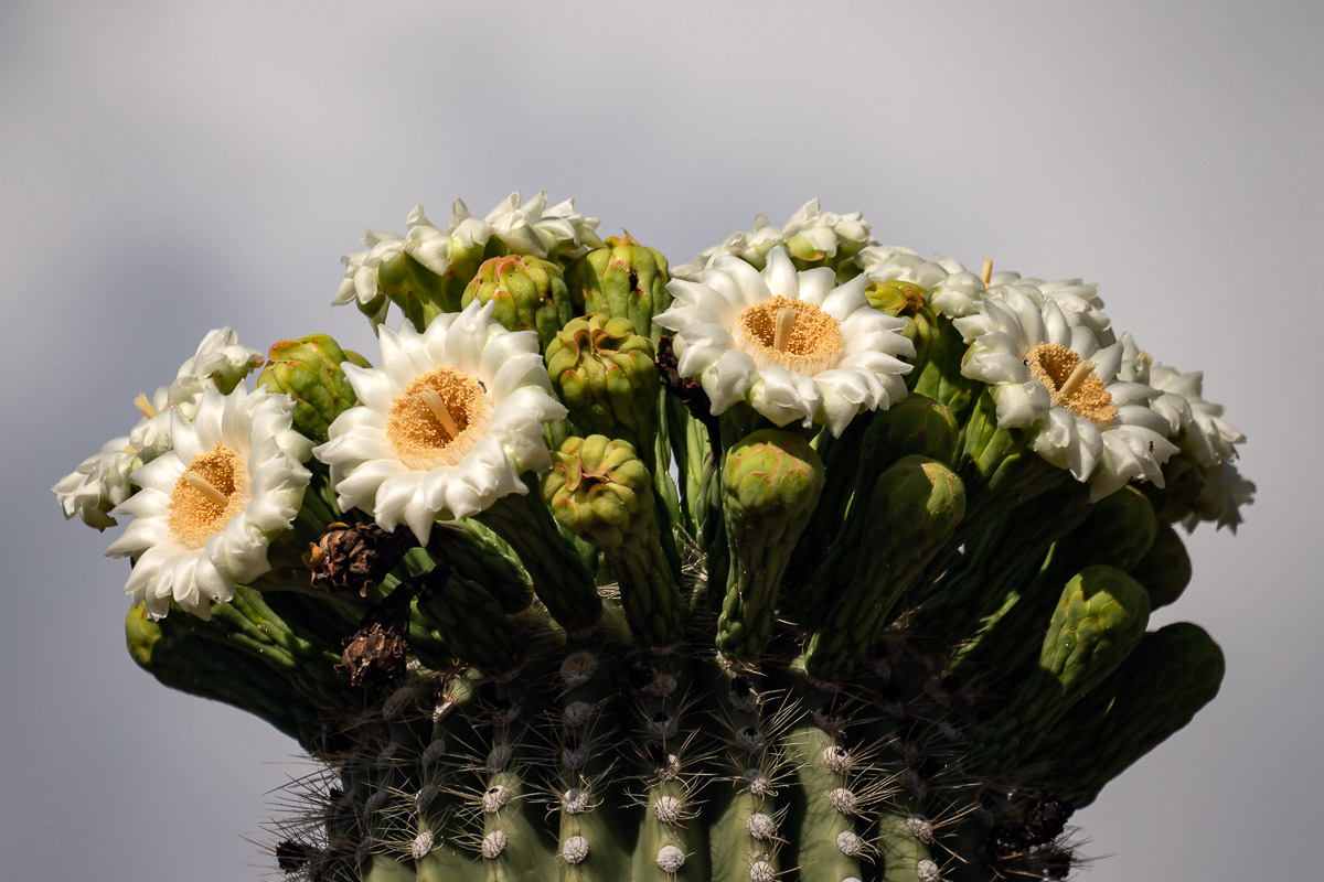 A Crown Of Saguaro Blossoms