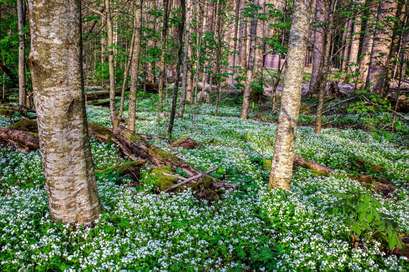 The Harmony of Spring in the Great Smoky Mountain