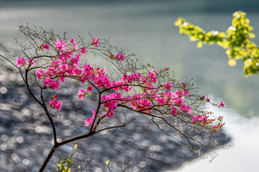 Azalea flowers blooming beautifully by the river