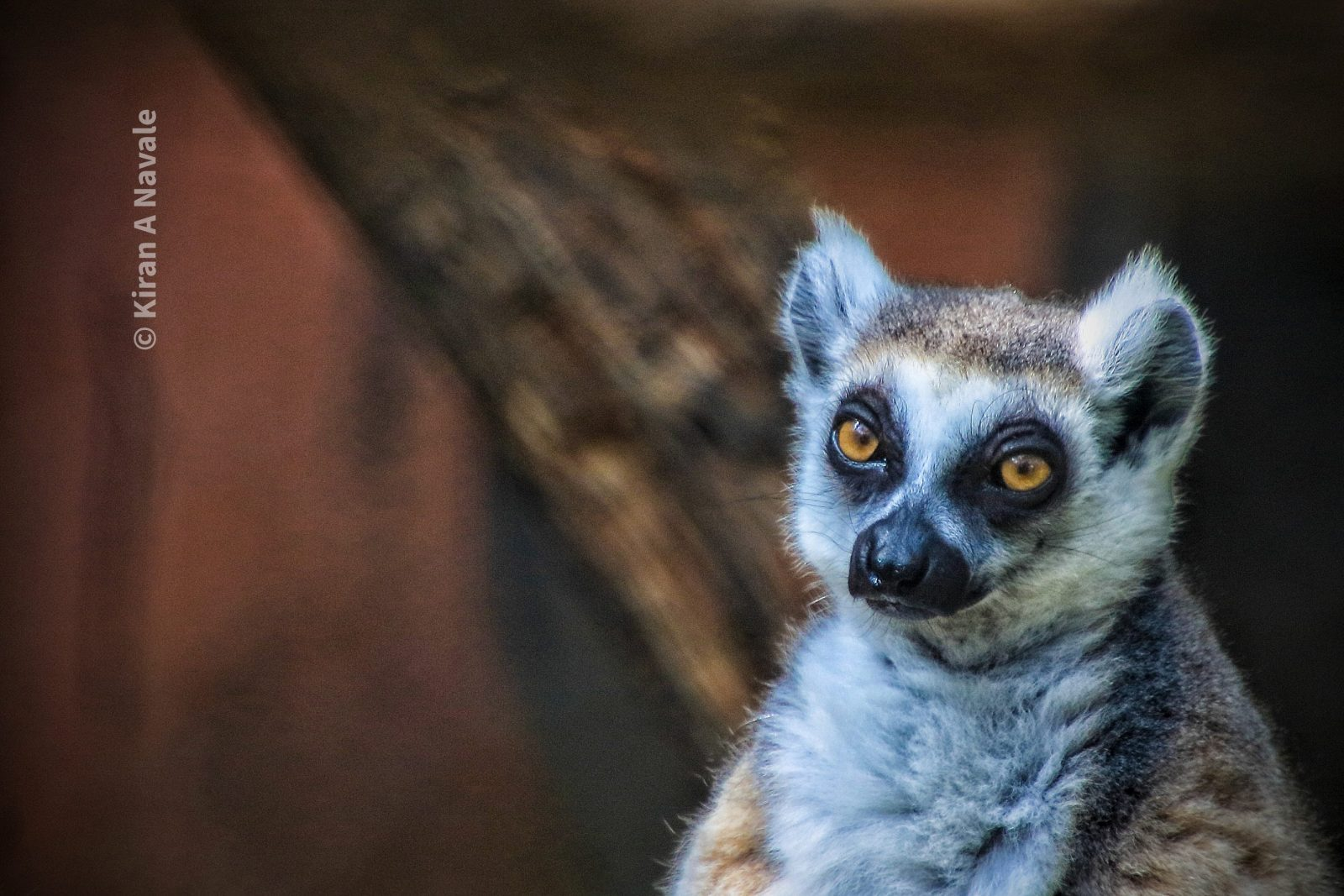 Innocent Lemur