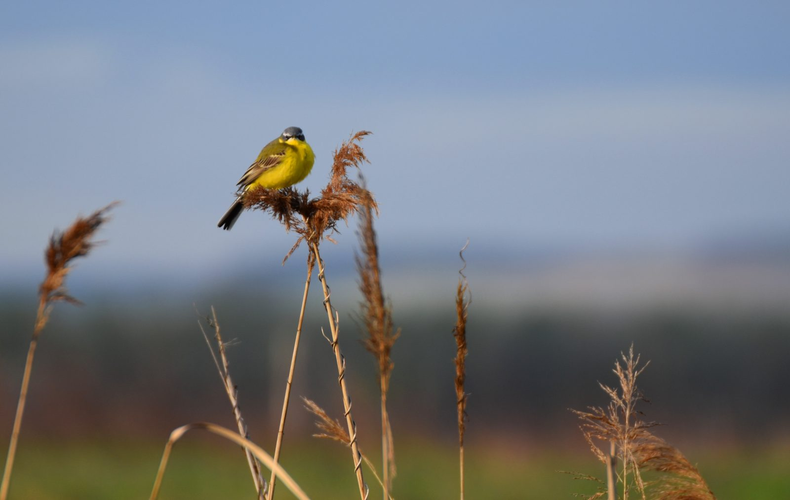 Yellow wagtail on a break