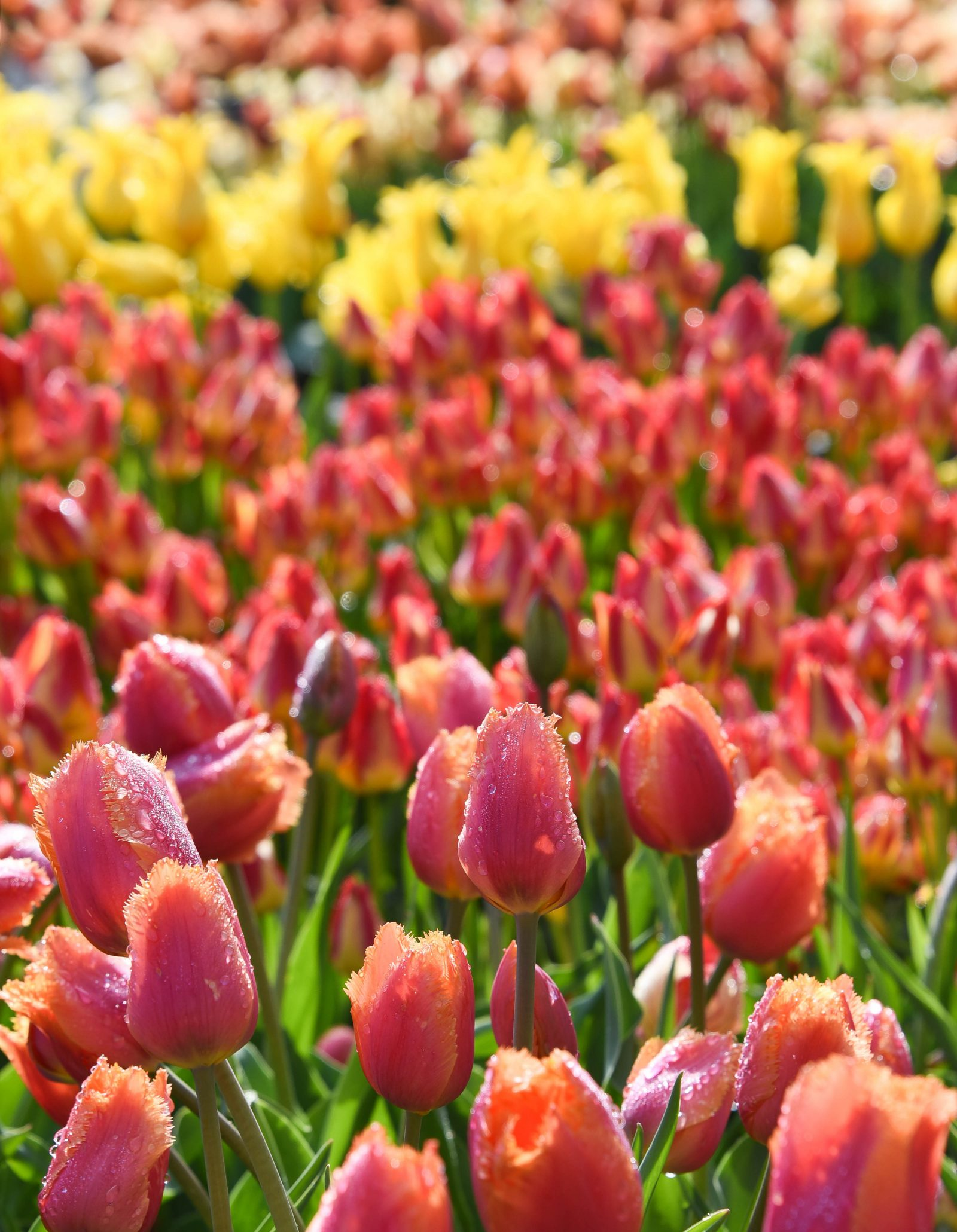 Dew Covered Tulips