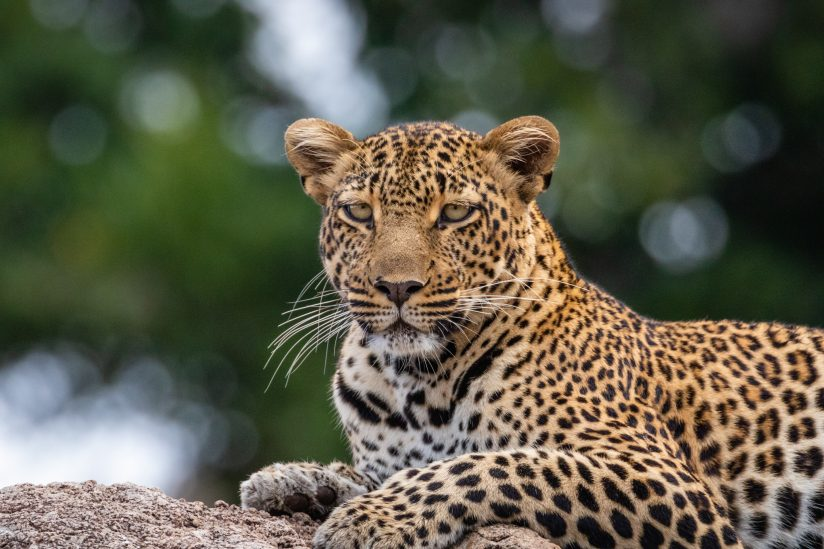Leopard with Beaucoup Bokeh 3
