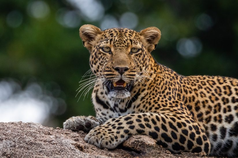 Leopard with Beaucoup Bokeh 4