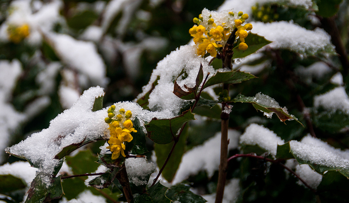 Oregon Grape Buds In the Snow
