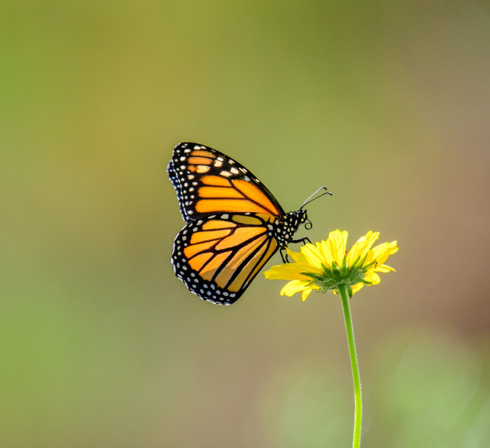 Monarch and Flower