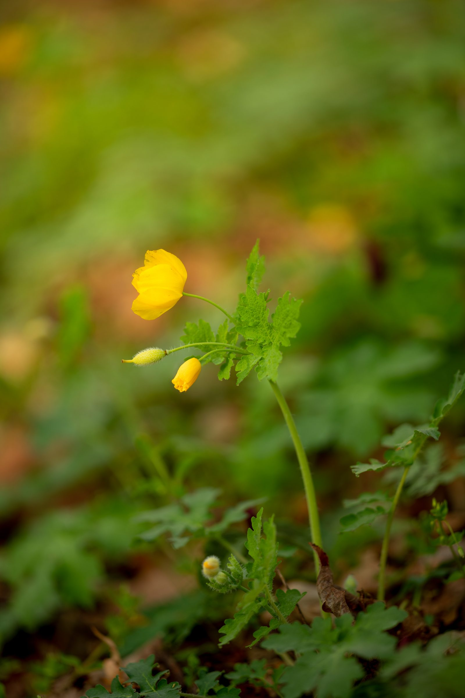 The Humble Wood Poppy