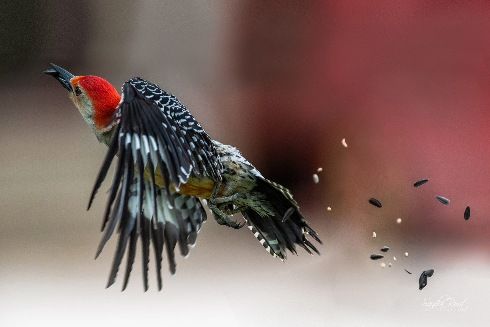 Red-bellied Woodpecker with Seeds-a-Flying
