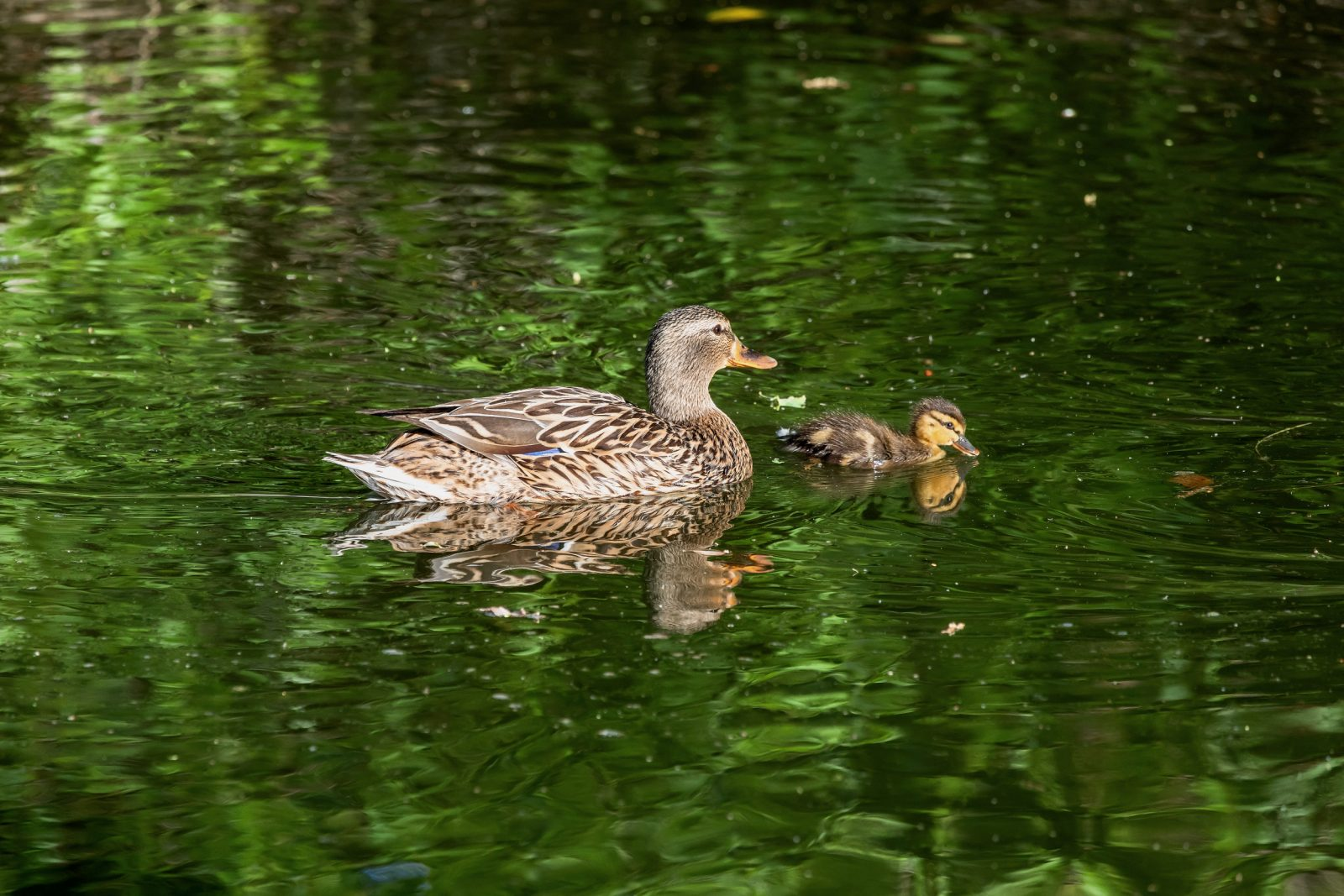 Mother Teal