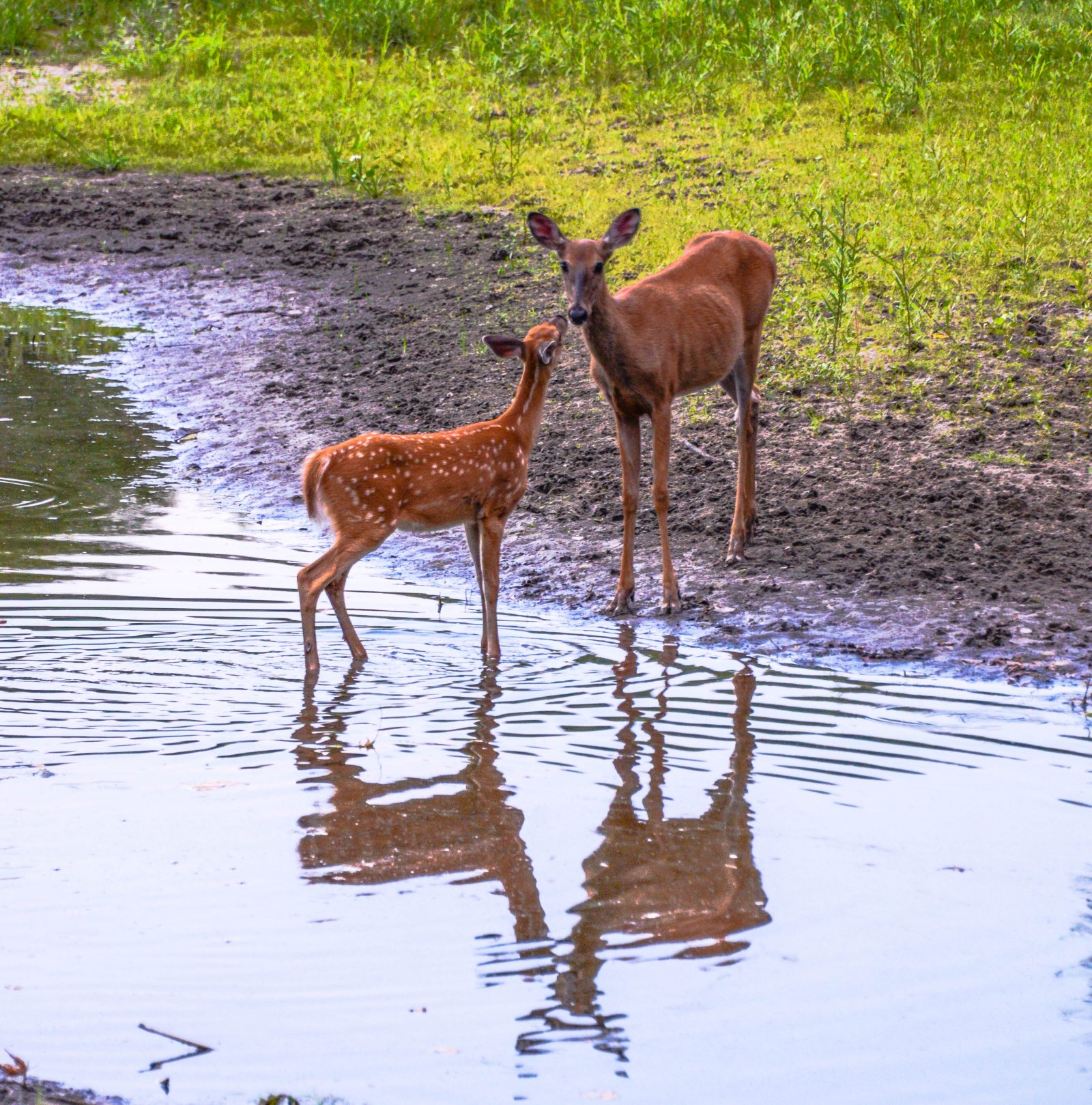 Doe and Fawn Reflections