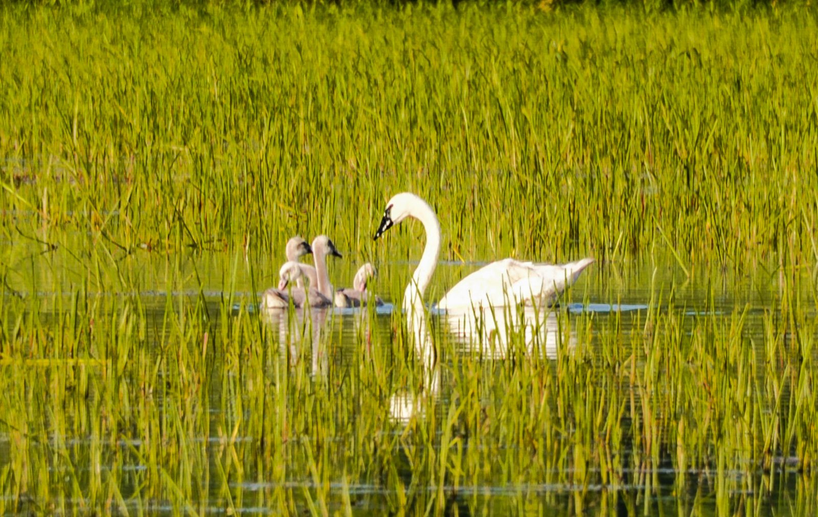 Mother watching Over her Cygnets