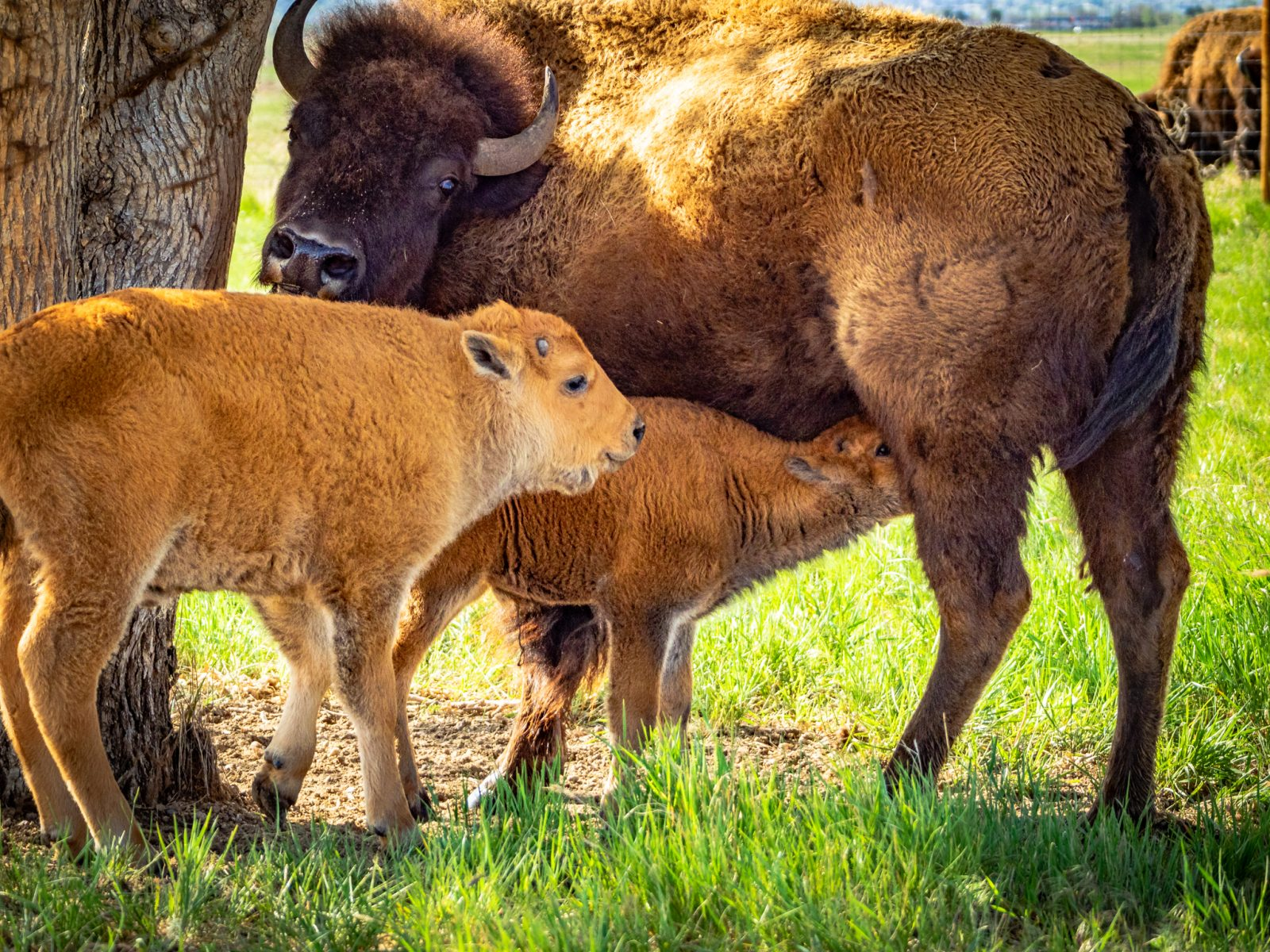 Bison Mama and Red Dogs