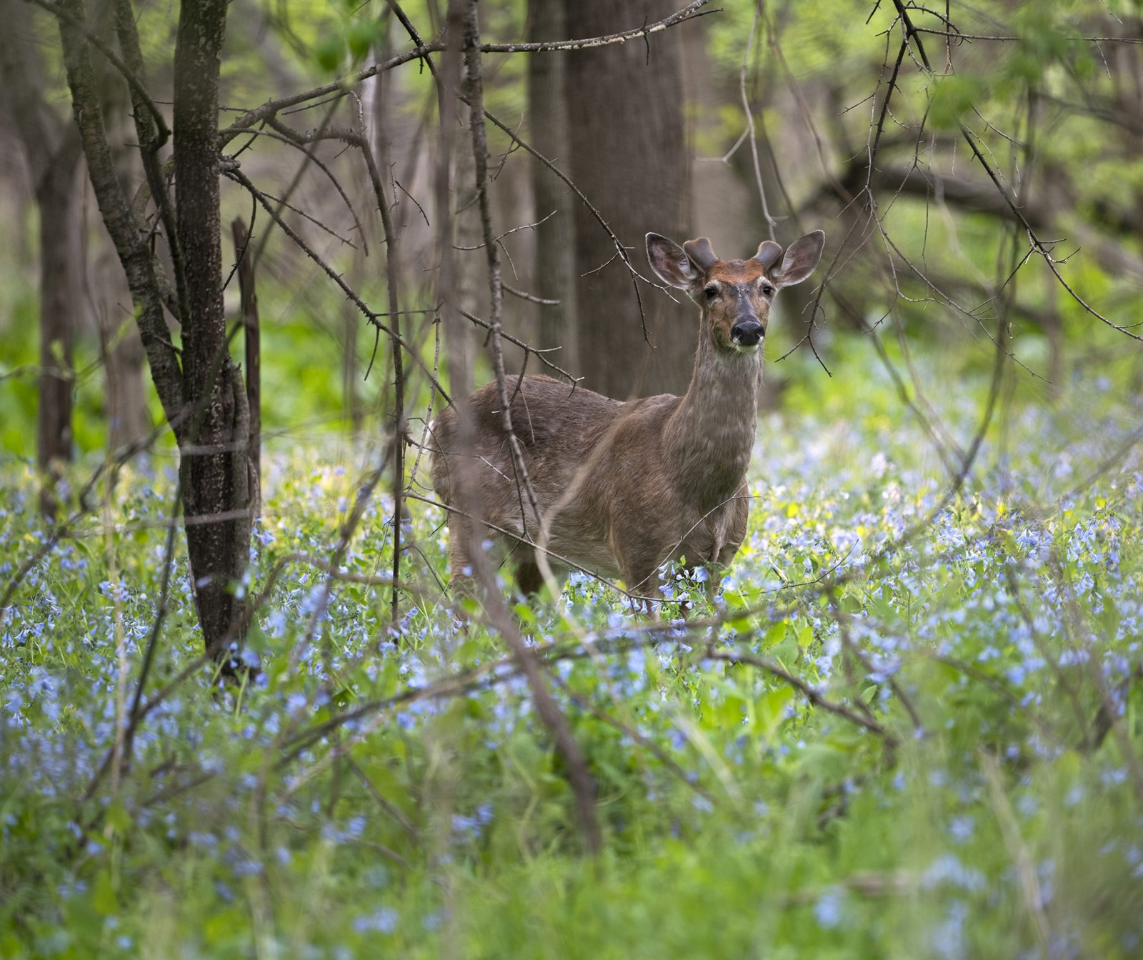 White-tail Deer in the Bluebells