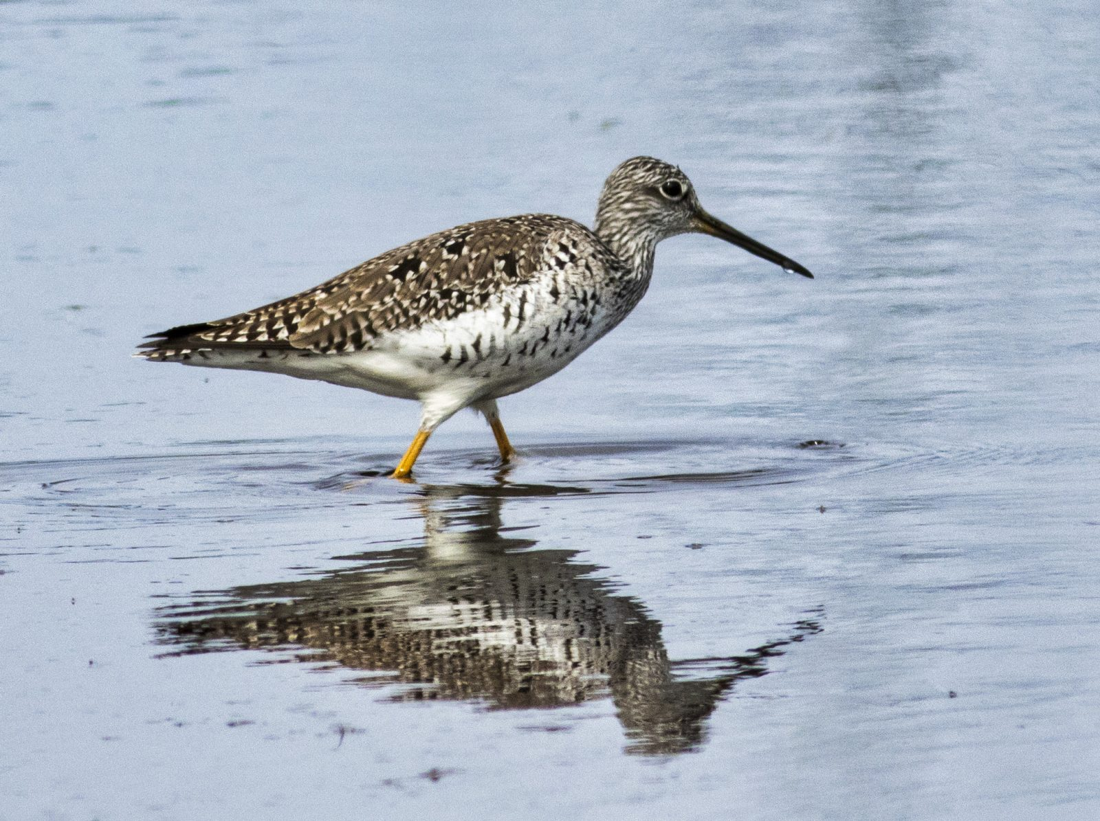 Greater Yellowlegs Reflected in the Water