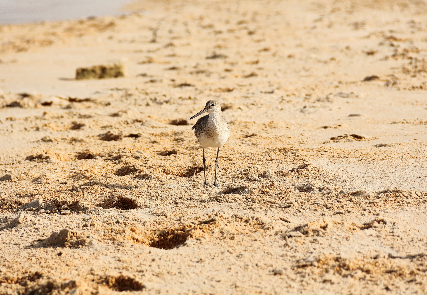 Hello, nice to meet you. I am from family of Sandpipers.