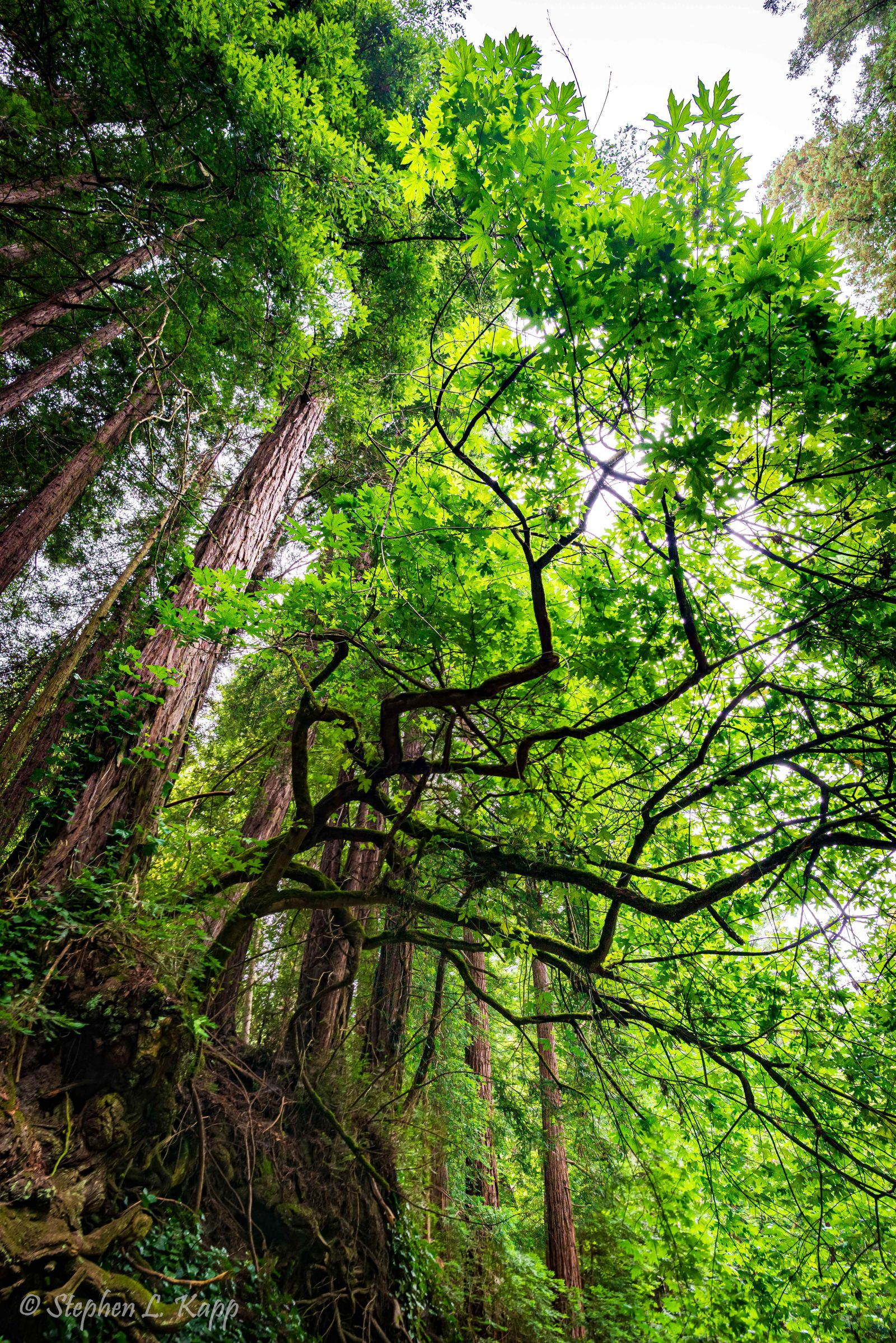 Towering Tree Canopy