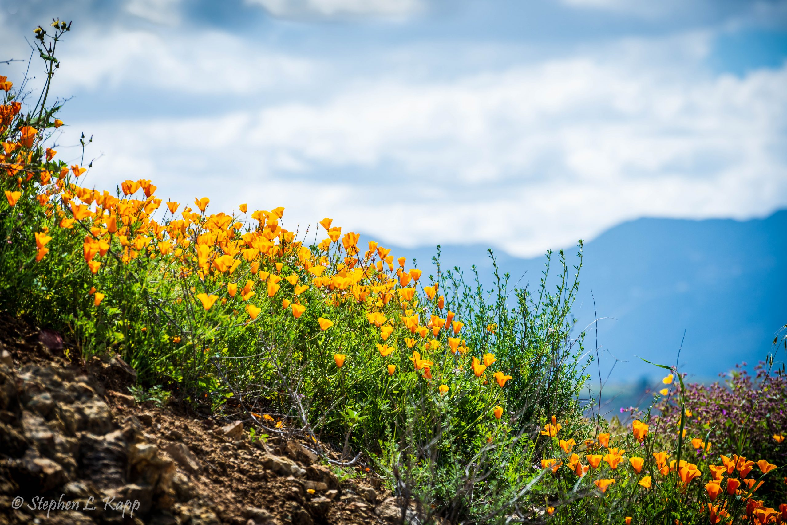 California Poppies and Sunny Skies
